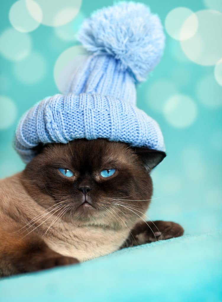 How Much Does A Siamese Cat Cost?