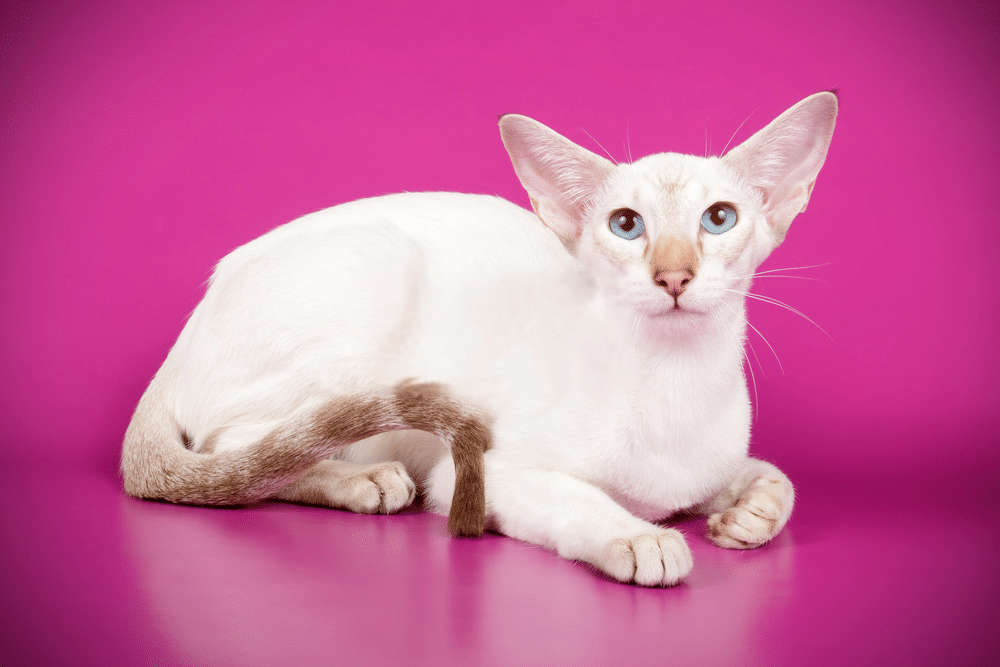 A Guide on Siamese Cat Colors and Characteristics 9