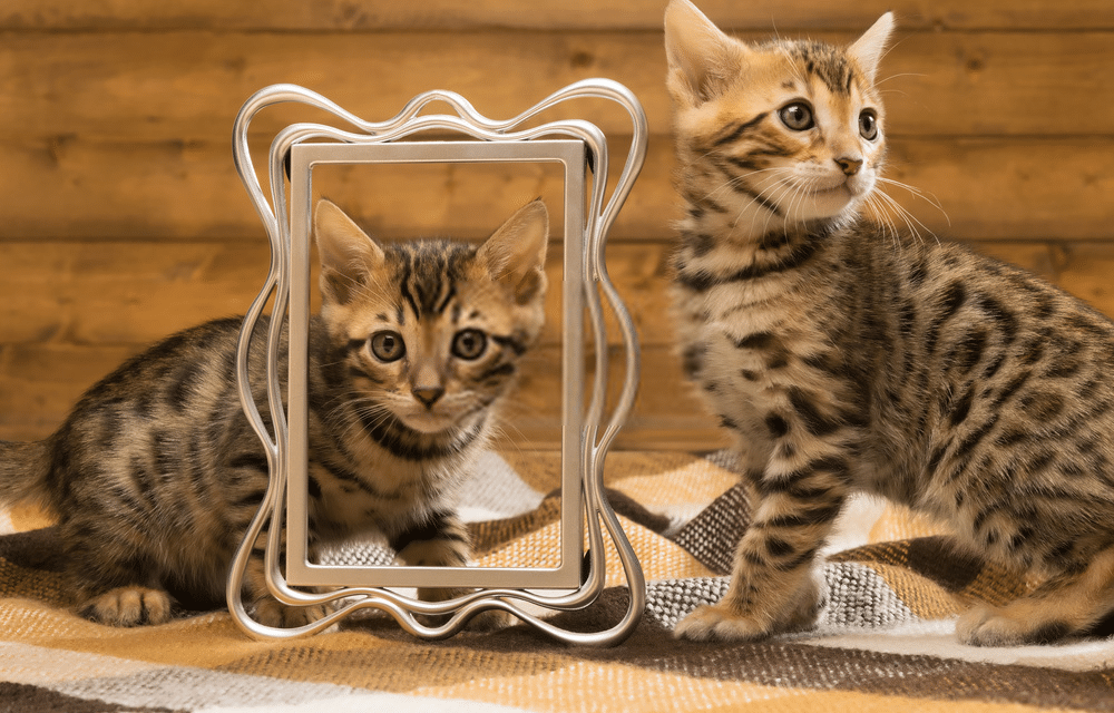 What is the Average Bengal Cat's Lifespan?