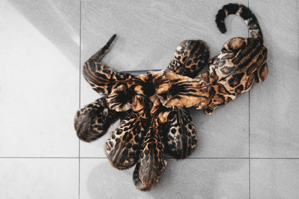 What is the Average Bengal Cat's Lifespan? 1