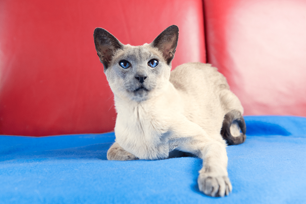 A Guide on Siamese Cat Colors and Characteristics 1