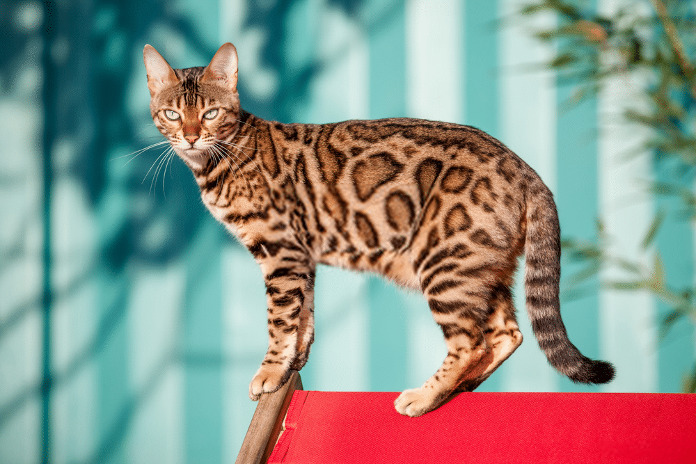 Bengal Cat Colors and Patterns 101 4