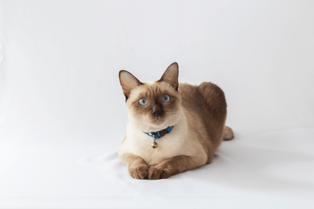 A Guide on Siamese Cat Colors and Characteristics 8