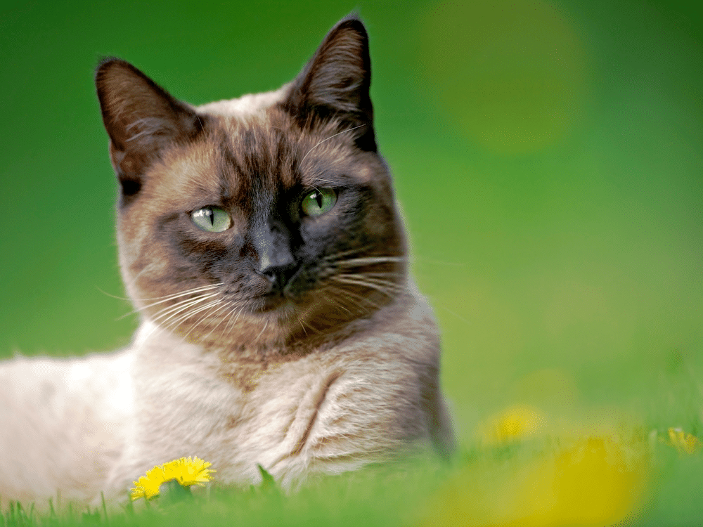 A Guide on Siamese Cat Colors and Characteristics 2