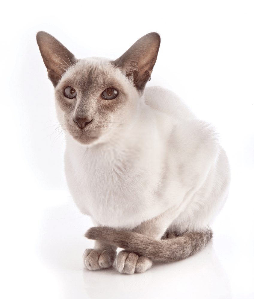A Guide on Siamese Cat Colors and Characteristics 3