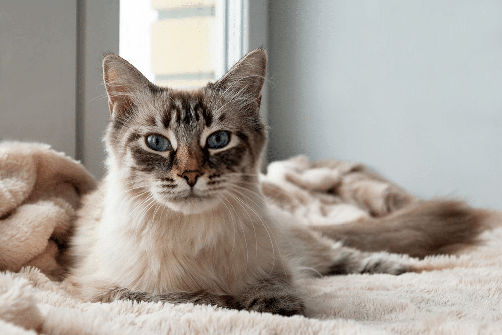 A Guide on Siamese Cat Colors and Characteristics 7