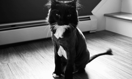 The Maine Coon Lion Cut – Shaving a Maine Coon Cat Pros and Cons