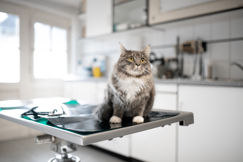 How much are Maine Coon cats? 3
