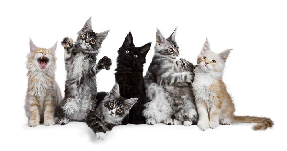How much are Maine Coon cats? 1