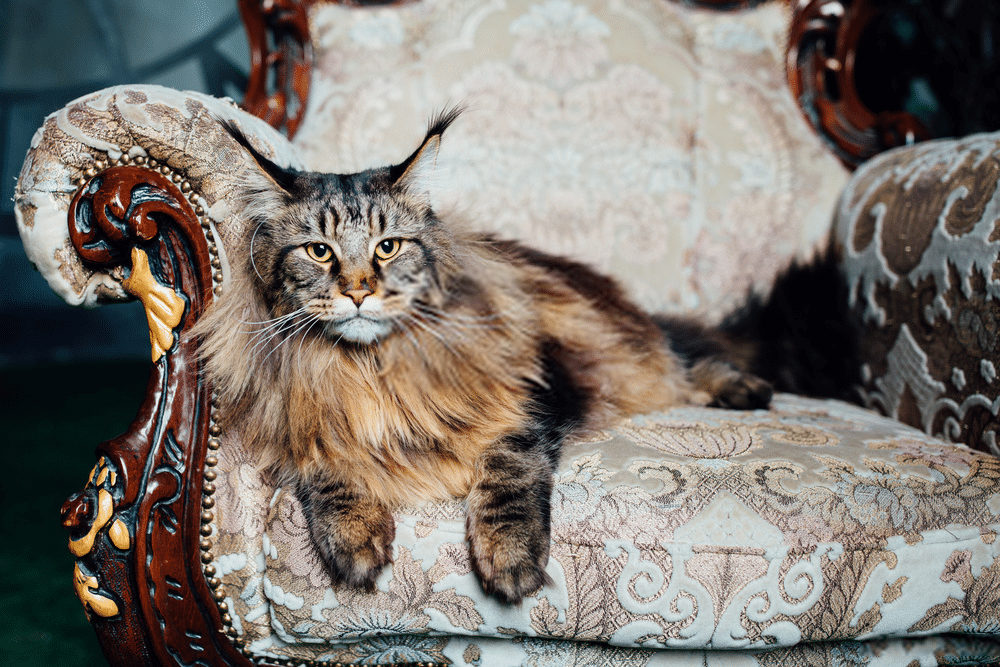How much are Maine Coon costs?
