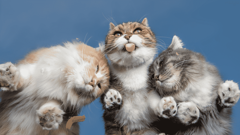 How much are Maine Coon cats?