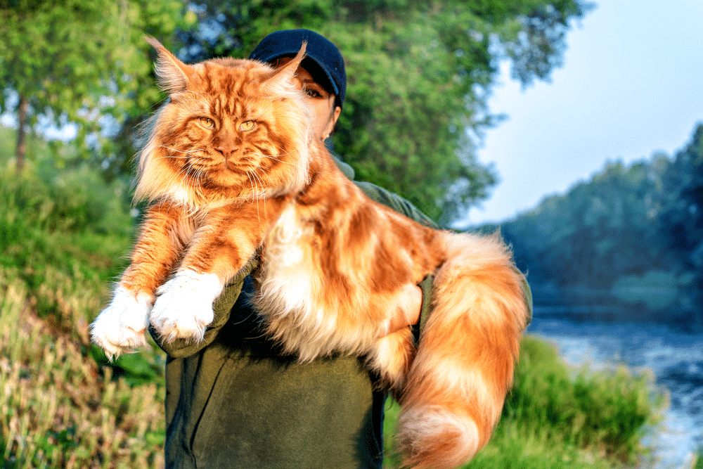 How much are Maine Coon cats? 7