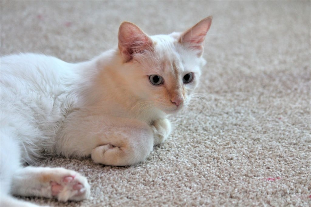 A Guide on Siamese Cat Colors and Characteristics 5