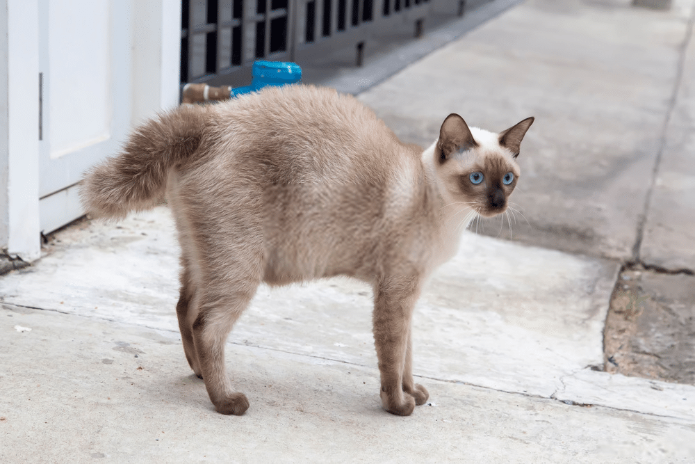 The Siamese Cat Behavior and Personality Traits Guide 3