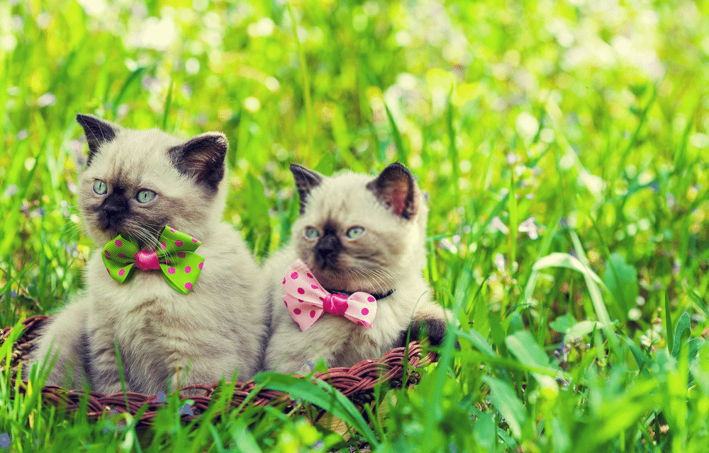A Guide on Siamese Cat Colors and Characteristics
