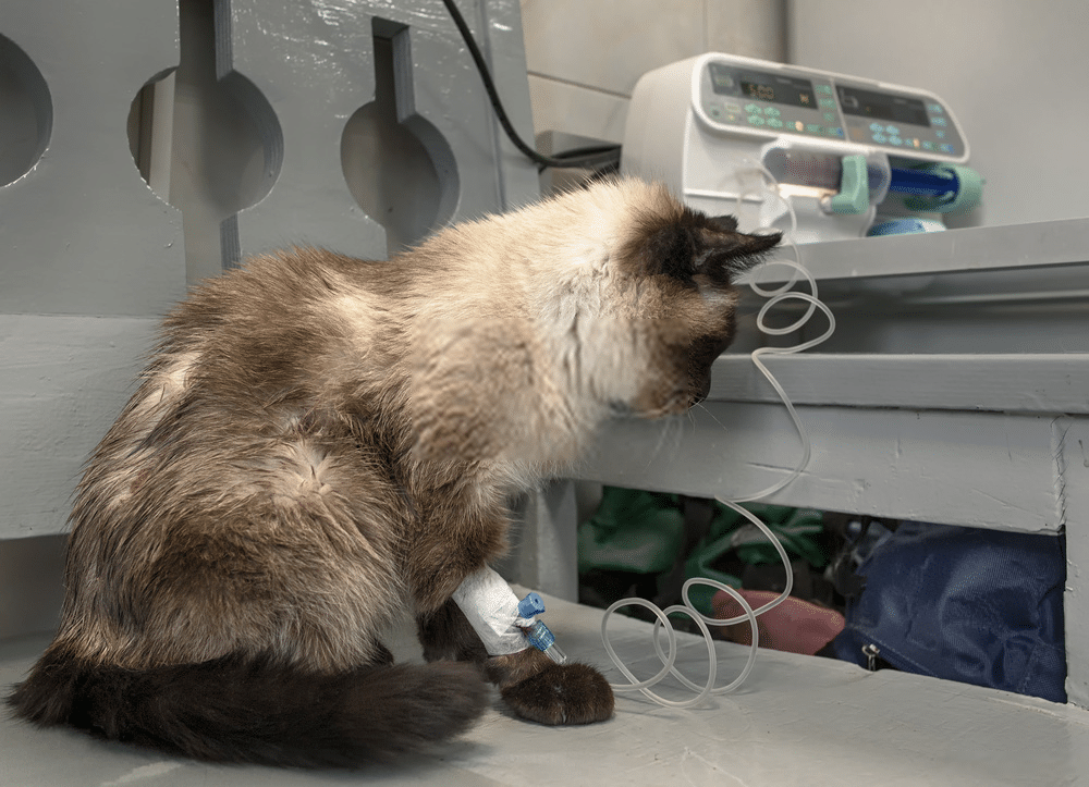 What is the Average Lifespan of a Siamese Cat? 5
