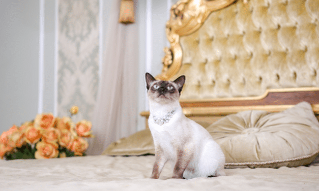 What is the Average Lifespan of a Siamese Cat?