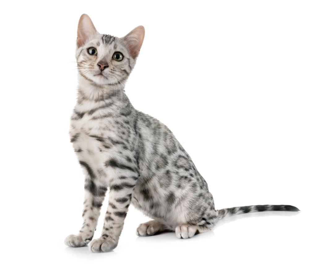 Bengal Cat Colors and Patterns 101 10