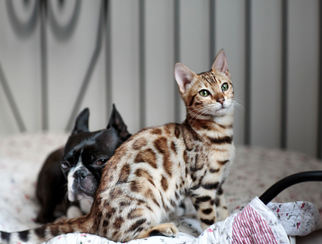 Bengal Cat Colors and Patterns 101 5