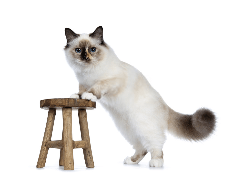 A Guide on Siamese Cat Colors and Characteristics 6
