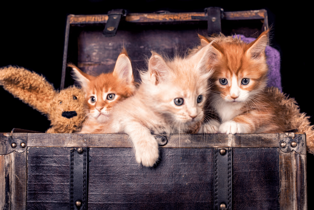 How much are Maine Coon cats? 8