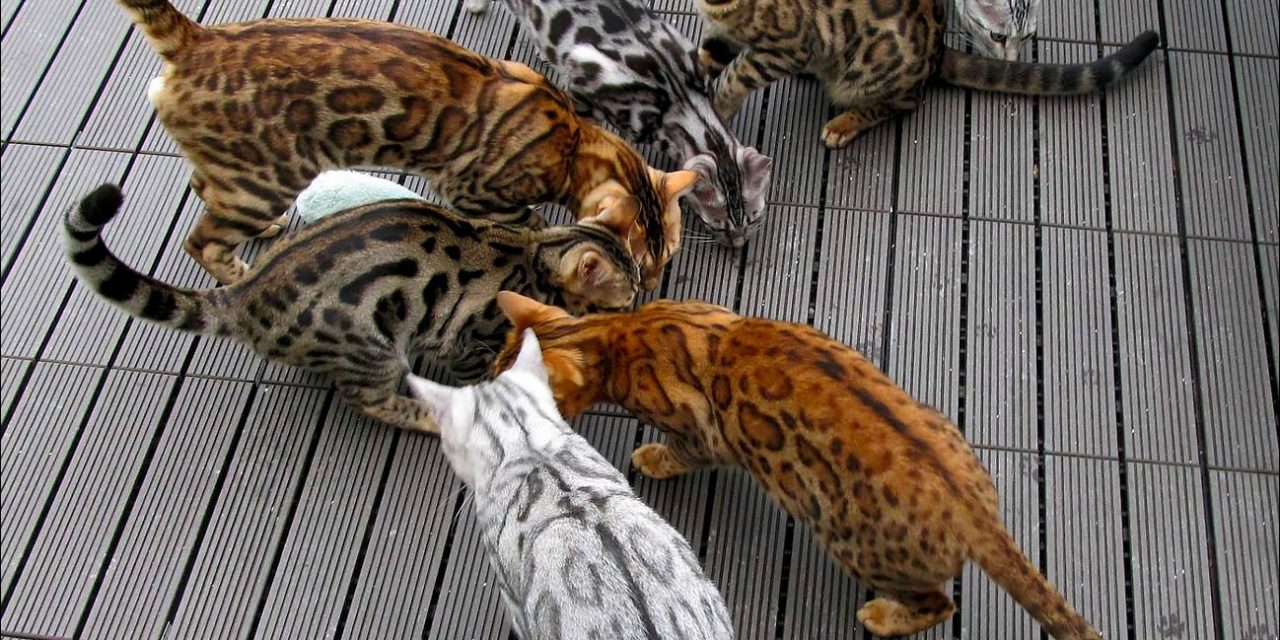 Bengal Cat Colors and Patterns 101