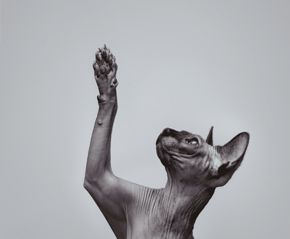 The Sphynx Cat Personality
