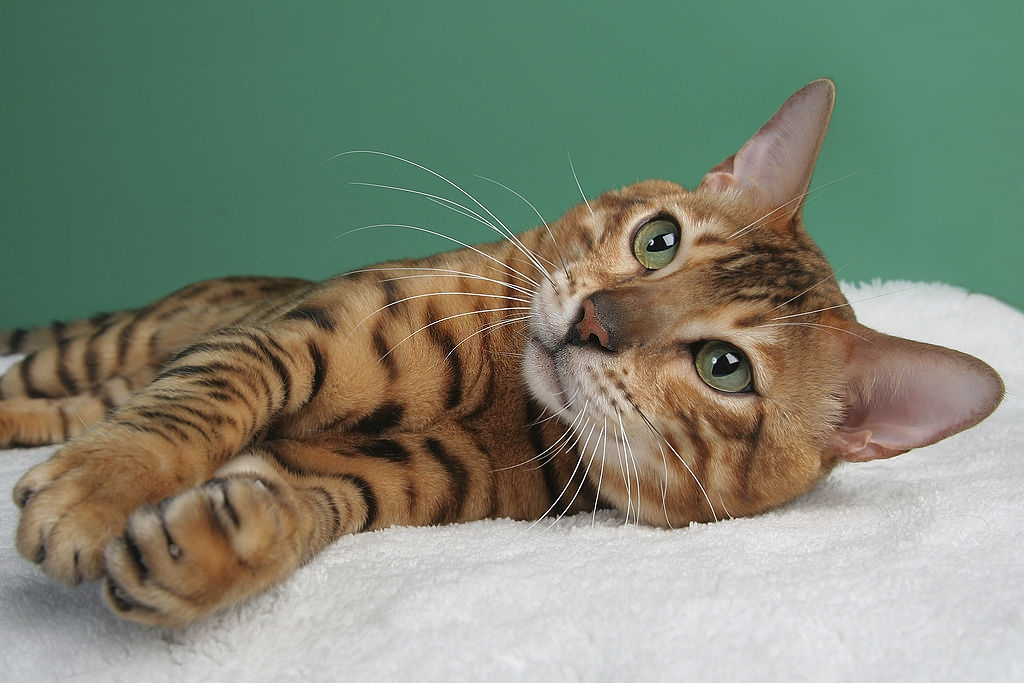 Bengal Cat Colors and Patterns 101 1