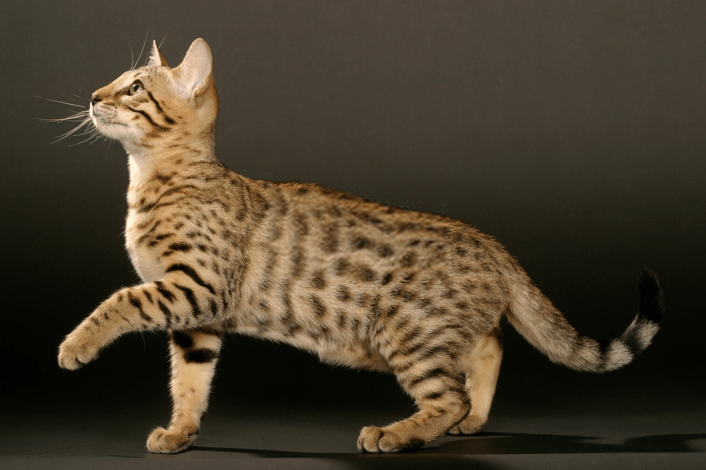 Bengal Cat Colors and Patterns 101 2