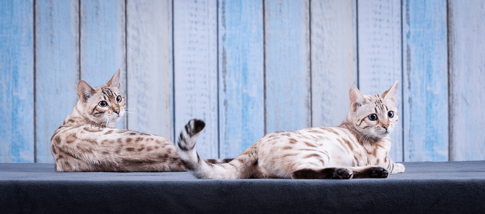 Bengal Cat Colors and Patterns 101 8