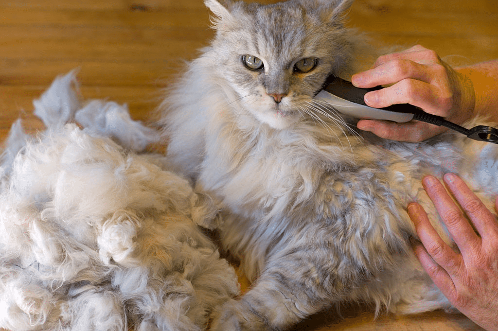 The Maine Coon Lion Cut – Shaving a Maine Coon Cat Pros and Cons 1