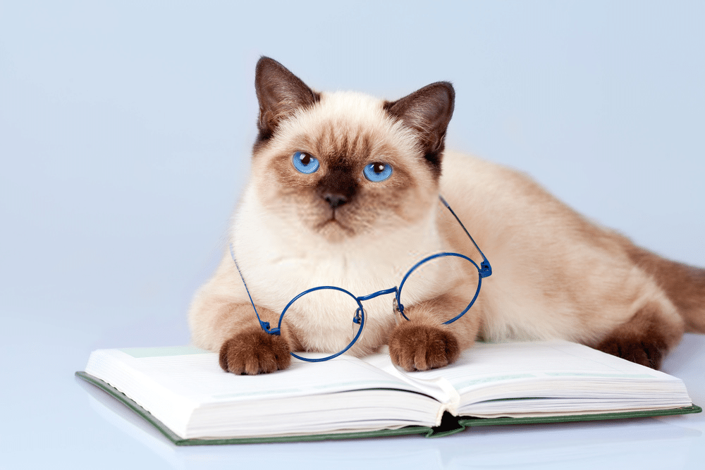 What is the Average Lifespan of a Siamese Cat? 1
