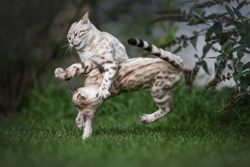 What is the Average Bengal Cat's Lifespan? 5