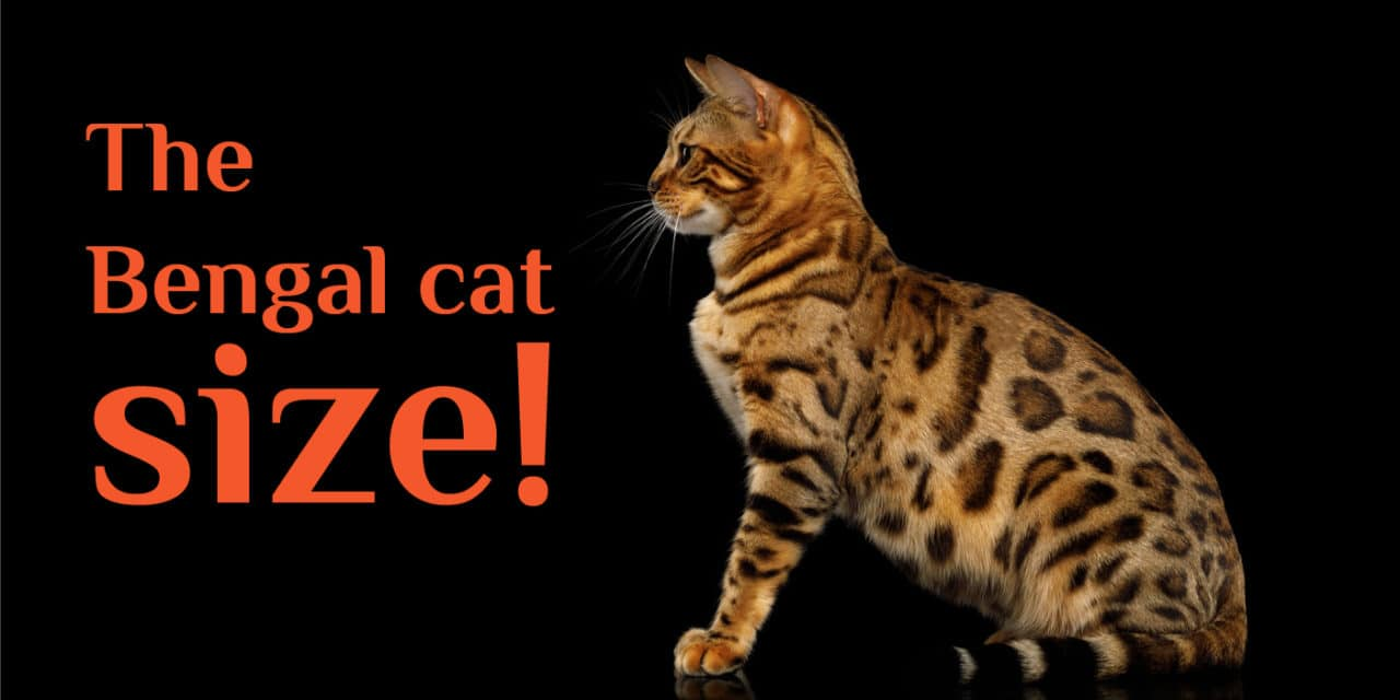 The Bengal Cat Size: How Big Will a Full-grown Bengal Cats Can Get?