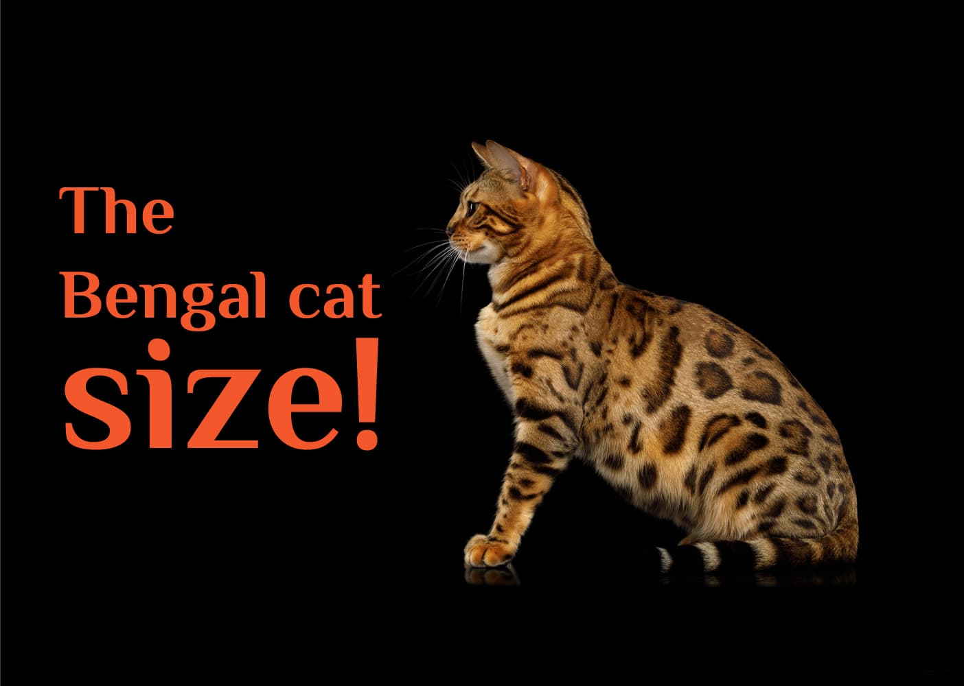 The Bengal Cat Size How Big Will A Full Grown Bengal Cats Can Get Glamorous Cats