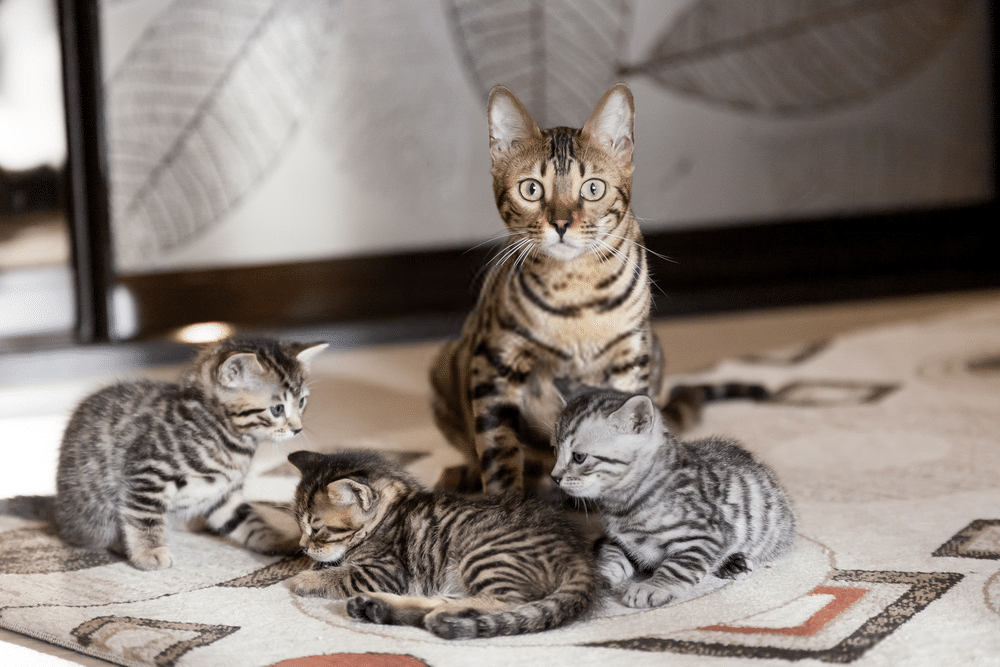 The Bengal Cat Size: How Big Will a Full-grown Bengal Cats Can Get? 3