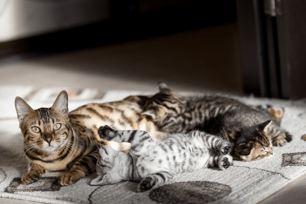 The Bengal Cat Size: How Big Will a Full-grown Bengal Cats Can Get? 1