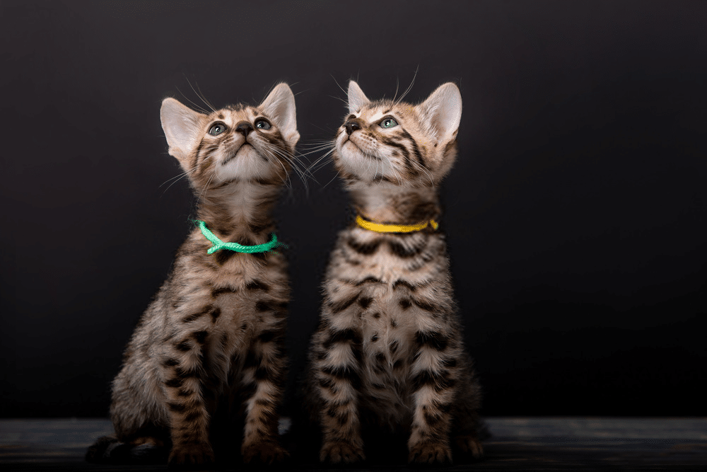 The Bengal Cat Size: How Big Will a Full-grown Bengal Cats Can Get? 2