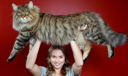 The Maine Coon Cat Personality and Temperament