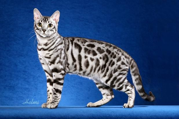 Bengal cats 101: The bold, bright and beautiful breed 6