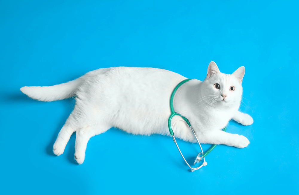 White cat lying treating ailments in senior cats
