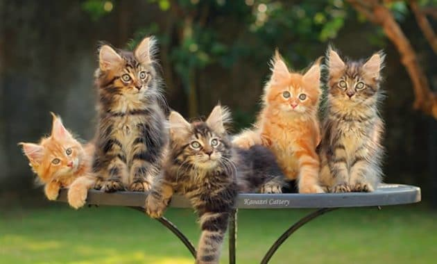 Maine Coon kittens price 1