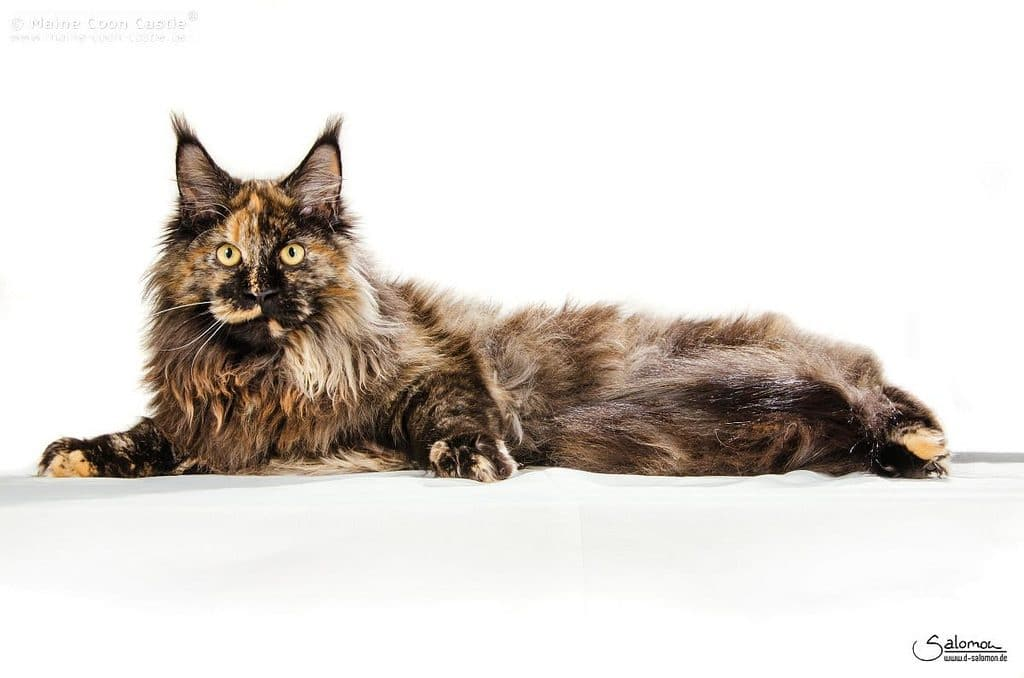The Maine Coon Cat Personality and Temperament 1