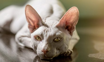 Owning a Sphynx Cat: Full of mischief, Sphynx is a born entertainer