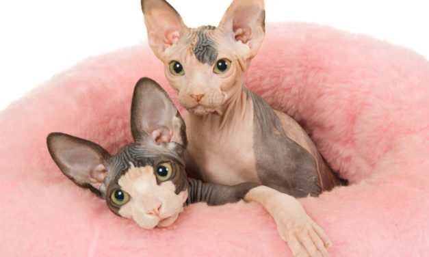 How much does a sphynx cat cost? Why are so expensive?
