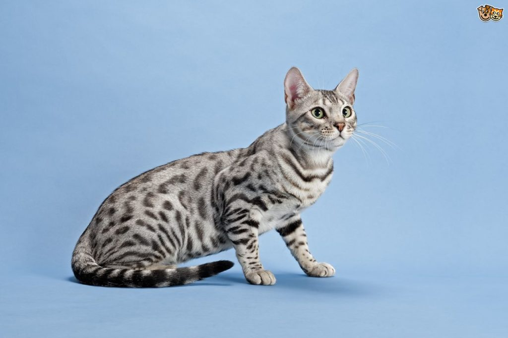 Bengal cats 101: The bold, bright and beautiful breed 5