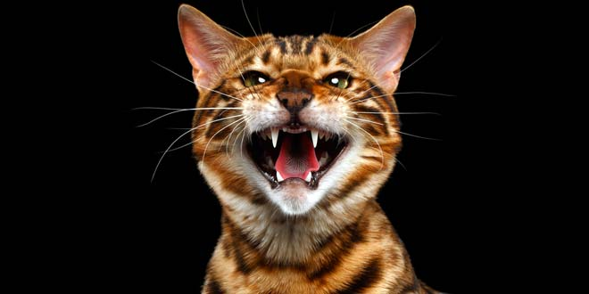 The Bengal Cat Behavior and Personality 1