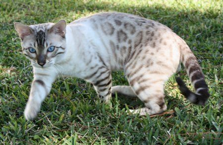 Bengal cats 101: The bold, bright and beautiful breed 4