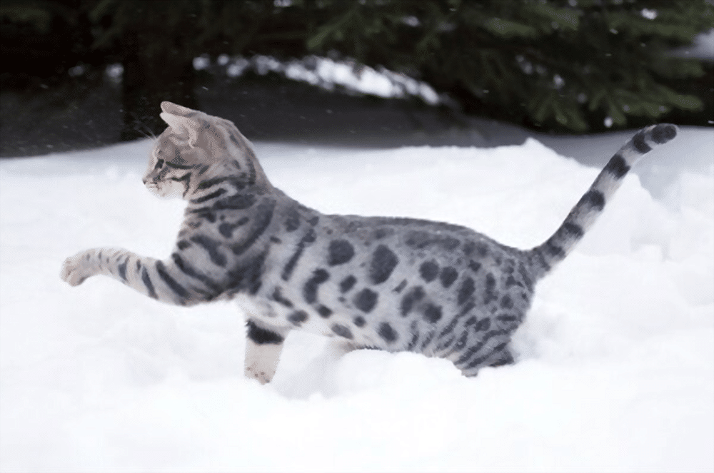 Bengal cats 101: The bold, bright and beautiful breed 9