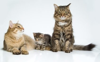 Cat Breeding: Finding a stud and recognizing pregnancy